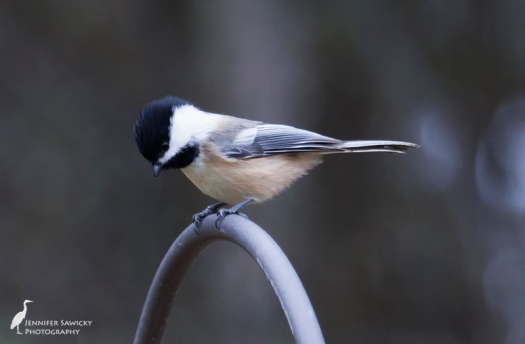 I love the expression of this little black capped chickadee, waiting for its turn on the feeder below. 1/400sec, f5.6, ISO 2200