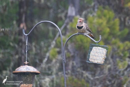 This was the first flicker I saw visiting the suet feeder; I was so excited I tried taking pictures out the window.  When looking through the photos from the week this morning, I realized I've had at least 3 different individuals visiting :) 1/400sec, f5.6, ISO 3200