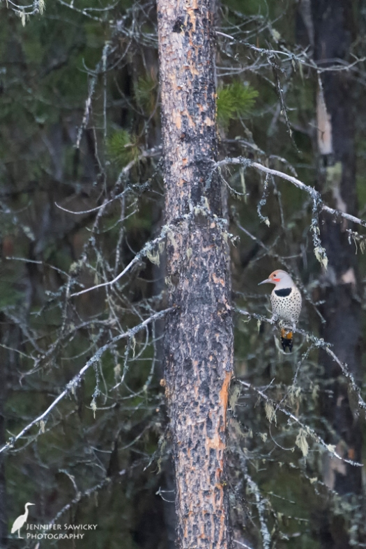 This flicker has some red cheek markings, but not as large as the other one. 1/1000sec, f5.6, ISO 6400