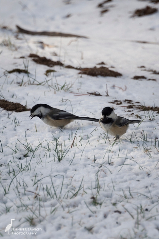 A pair of black capped chickadees on clean up duty.  They've spilled so many sunflower seeds the last couple days, I might just have to take the feeder away for a few hours to encourage them to tidy up! 1/500sec, f5.6, ISO 250