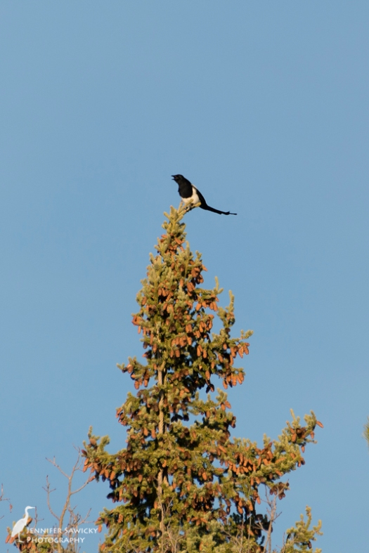A black billed magpie calls out to its friends on a beautifully sunny afternoon. 1/400sec, f5.6, ISO 140