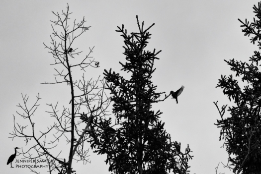 I'm always thrilled when I come across a silhouette opportunity, especially with birds!  A pine grosbeak does a funny hop & flap to move from one tree to the next.  His or her friends were not far behind. 1/400sec, f5.6, ISO 800