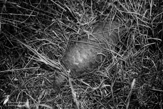 20160220_World Pangolin Day.jpg
