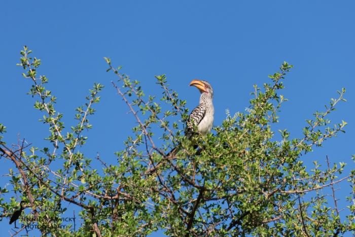 Hornbills-2
