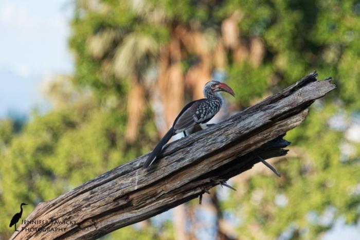 Hornbills-3