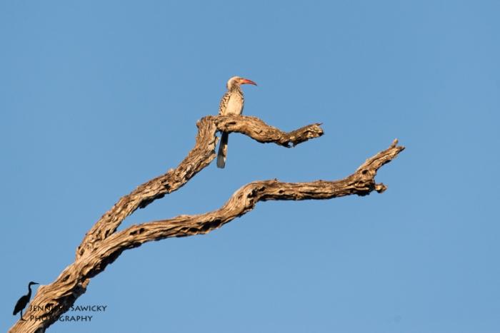 Hornbills-4