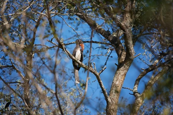 Hornbills-5