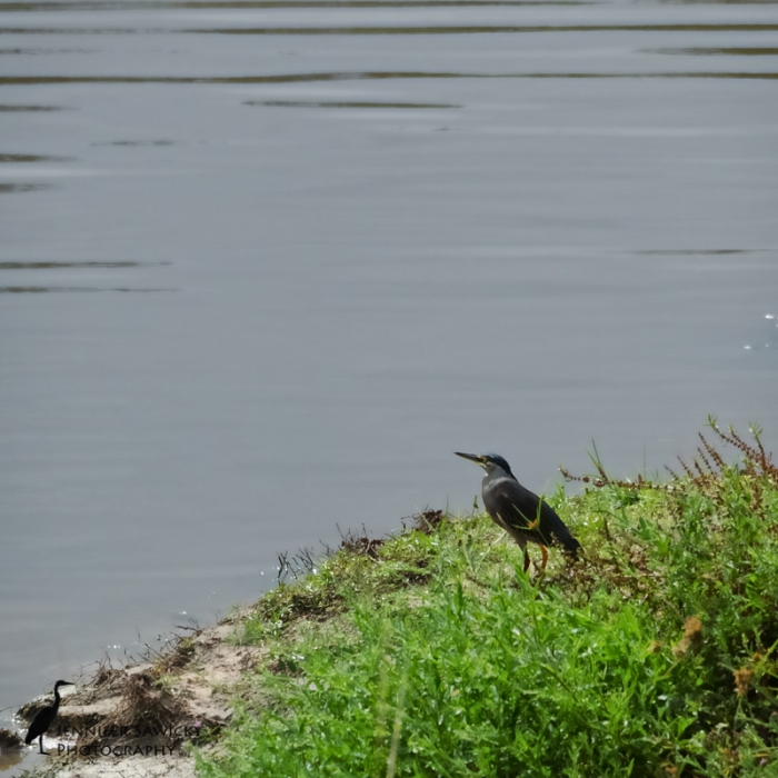 green-backed-heron