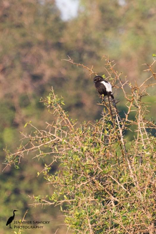 magpie-shrike