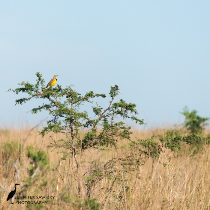 yellow-throated-longclaw