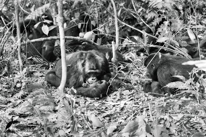 gorilla photo.jpg